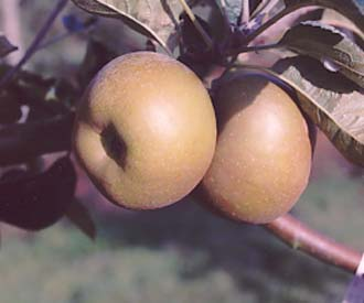 Apple - Roxbury Russet