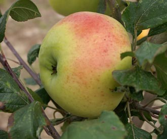 Apple - Royal Jubilee