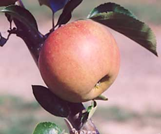Apple - Rubinette