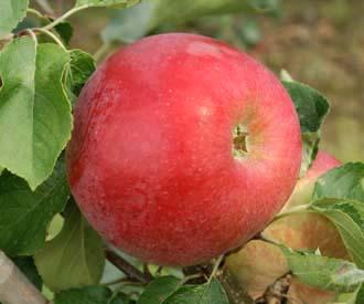 Apple - Ruby (Seabrook)