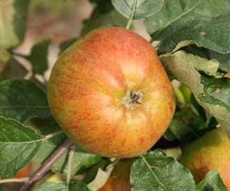 Apple - Scotch Bridget