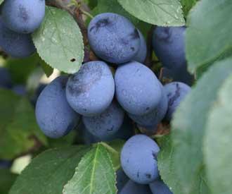 Damson - Shropshire Prune