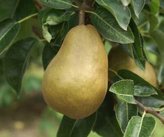 Pear - Sirrine