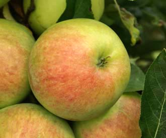 Apple - St Ailred