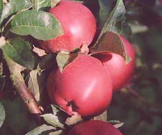 Apple - Starkrimson