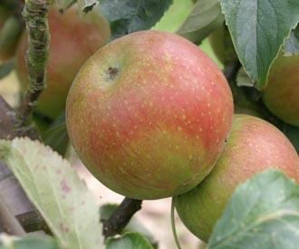 Apple - St Cecilia