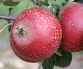 Apple - St Everard