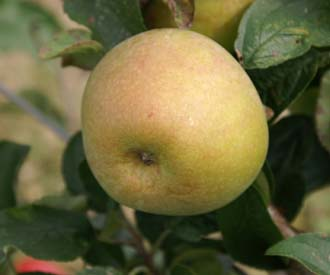 Apple - Storey's Seedling