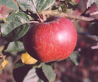 Apple - Striped Beefing