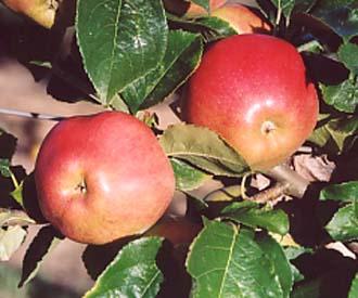 Apple - Teton de Demoiselle