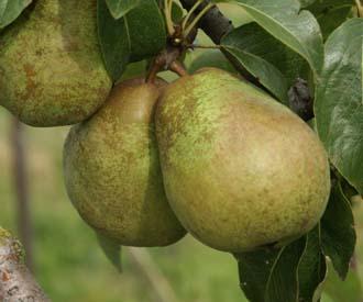 Pear - Thompson's