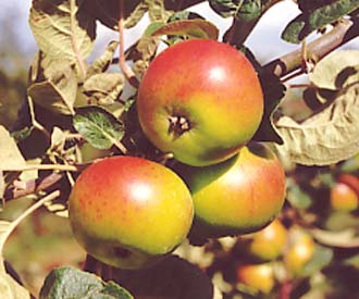 Apple - Thorle Pippin