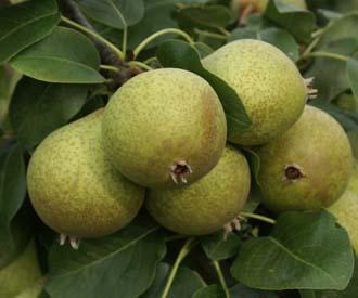 Pear - Thorn