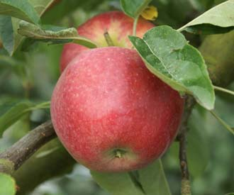Apple - Tydeman's Early Worcester