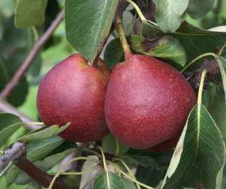 Pear - Verbelu
