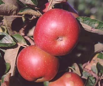 Apple - Wagener