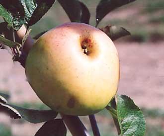 Apple - White Melrose