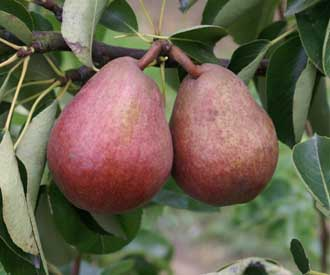 Pear - Red Williams