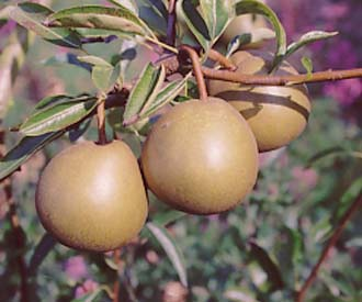 Pear - Winter Nelis