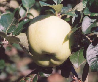 Apple - Wormsley Pippin