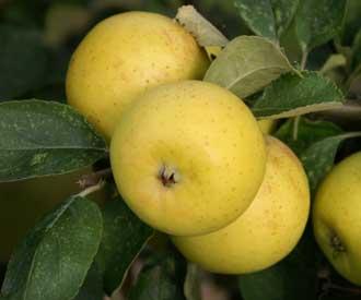 Apple - Yellow Ingestrie