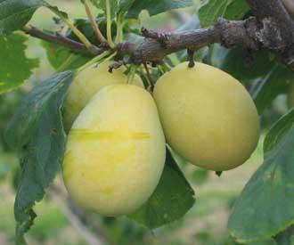 Plum - Yellow Pershore