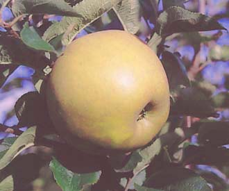 Apple - Zabergau Reinette